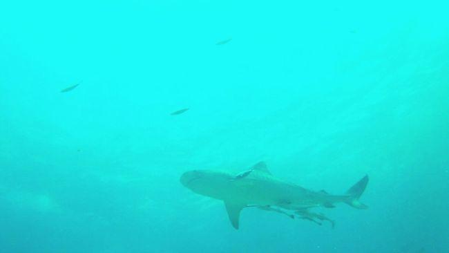 Tigershark Fiji Islands Tigershark Sea Life Nature UnderSea Animal Wildlife Animals In The Wild First Eyeem Photo