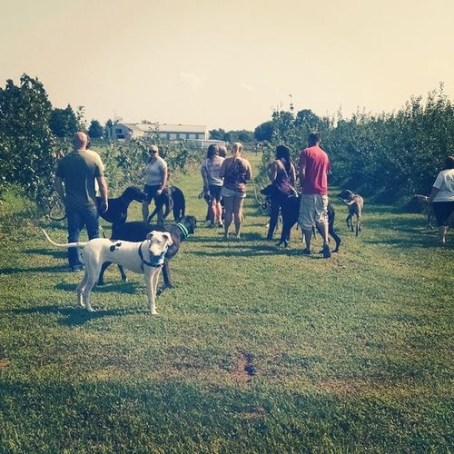 Danefest heads to Murphy Orchards. The Dogs loved being able roam around and the people loved the fresh fruit and apples right off the tree. Oh, and the unbelievable amount of homemade jam being sold there. Dogsofinstagram Danesofoinstagram Dogsofbuffalo Greatdane Orchards Farmfresh Fruit BurtNY