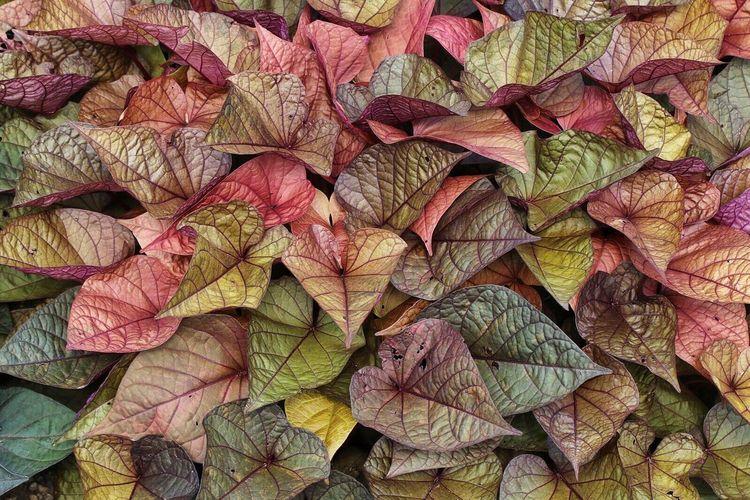 Ipomoea Colorful Leaves Ornamental Ornamental Plant Trial Garden CSU Plant Fancy Multi Colored Foliage