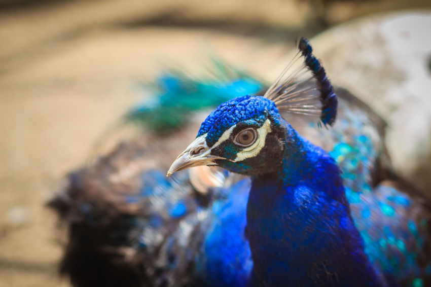 Close up to beautiful face of young peacock male with blue plumage. Peacock Blue Peacock Portrait Juvenile Juvenile Bird Juvenile Birds Juvenile Peacock Peacock Peacock Colors Peacock Dance Peacock Feather Peacock Feathers Peacock Tail Peacockfeather Peacockfeathers Peacockphotos Peacockpride Peafowl Peafowl Chicks Peafowl Head Peafowl Tail Young Peacock Young Peacock Male