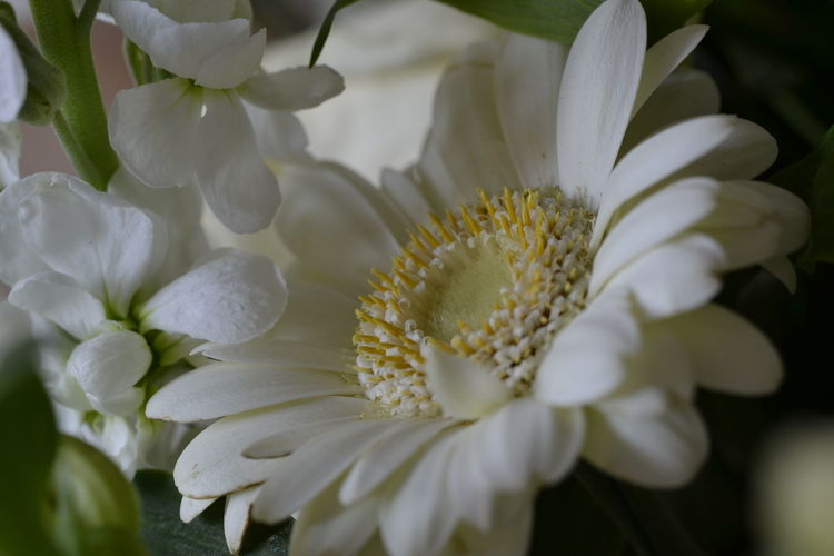 Close-up of white gerbera daisy