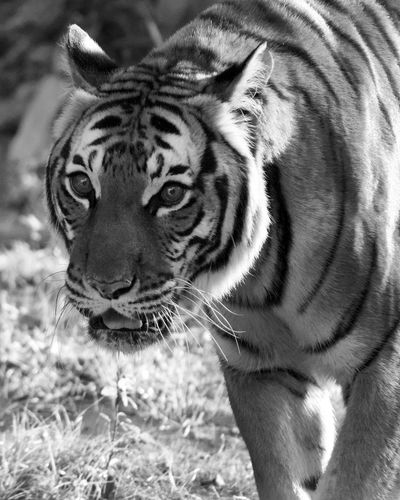 Malayan tiger Eyes Looking Carnivore Tiger Malayan Tiger Blackandwhite Close-up Cat Family Tiger Threatened Species Feline Big Cat Cat Whisker