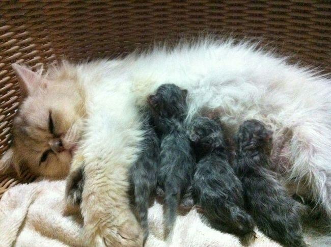 Cat♡ Cute Pets mother tigers
