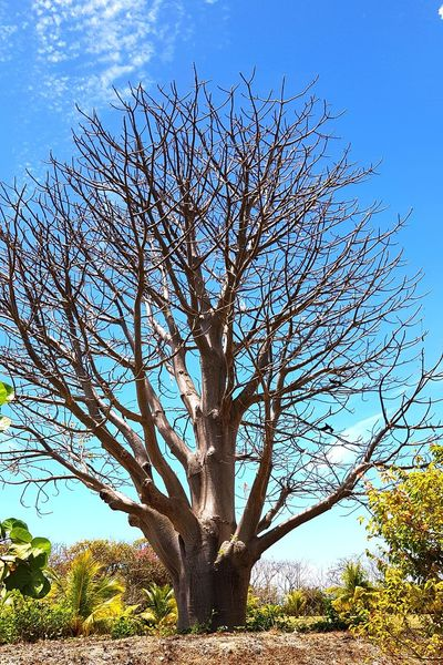 Baobab Guadeloupe Garden Baobab History Childhood Africa Heritage Tree Branch Tree Trunk Bare Tree Blue Sky