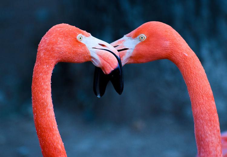 Beautiful kissing beak touching  bright pink flamingo wild birds mating in the wild
