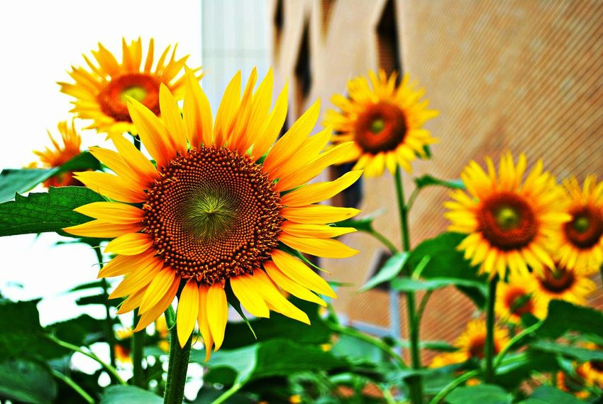 Beauty In Nature Blooming Close-up Day Flower Flower Head Fragility Freshness Growth Nature No People Outdoors Petal Plant Pollen Summer Sunflower Yellow Yellow Color EyeEmNewHere Postcode Postcards