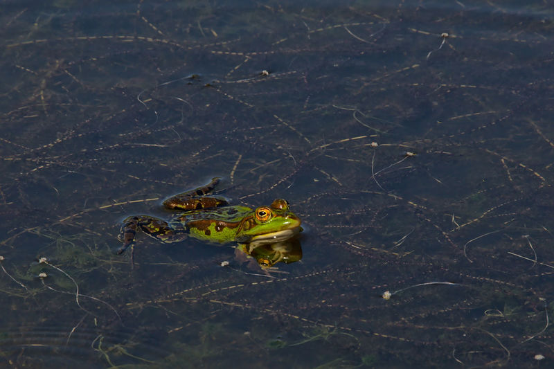 Green frog with big eyes swimming with wide open paws in a dark pool pond in Bourgoyen nature reserve, Ghent, flanders - Anura Dark Frog Green Color Pond Swimming Amphibian Animal Themes Animal Wildlife Animals In The Wild Anura Big Eyex Bourgoyen Close-up Day Ecology High Angle View Nature No People One Animal Water Wild Wildlife