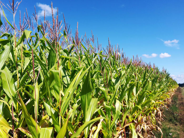 Corn Plants Growing In Farm Against Sky