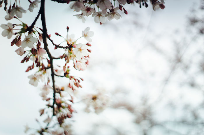 Beauty In Nature Blossom Branch Cherry Blossom Cherry Blossom Cherry Blossoms Close-up Flower Fragility Freshness Growth Nature Outdoors Spring 2016 Spring Flowers Tree White Cherry White Cherry Blossom
