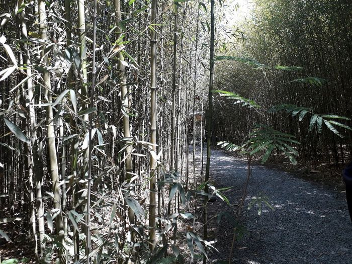 Bosque de Bambú Bamboo - Plant Forest Photography I LOVE PHOTOGRAPHY Costa Rica Lankester Garden