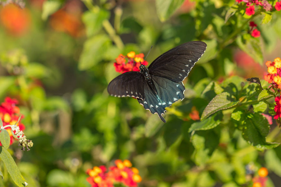 Dark Eastern Tiger Swallowtail Animal Animal Themes Animals In The Wild Beauty In Nature Butterfly - Insect Close-up Day Flower Fragility Green Color Horizontal Insect Multi Colored Nature No People One Animal Outdoors Plant Red