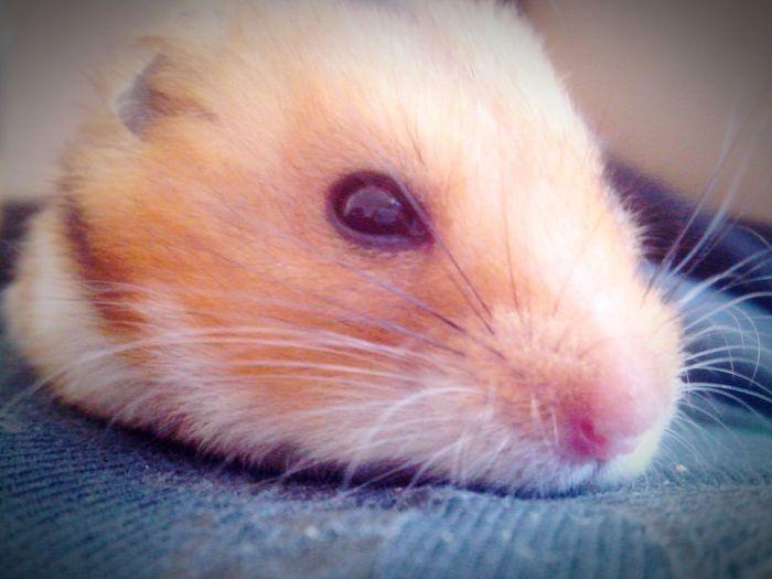 My favorite hamster is awake!* Awaking My Love My Hamster Hamster Pet Pets Foto Awake Animal Awake Animal