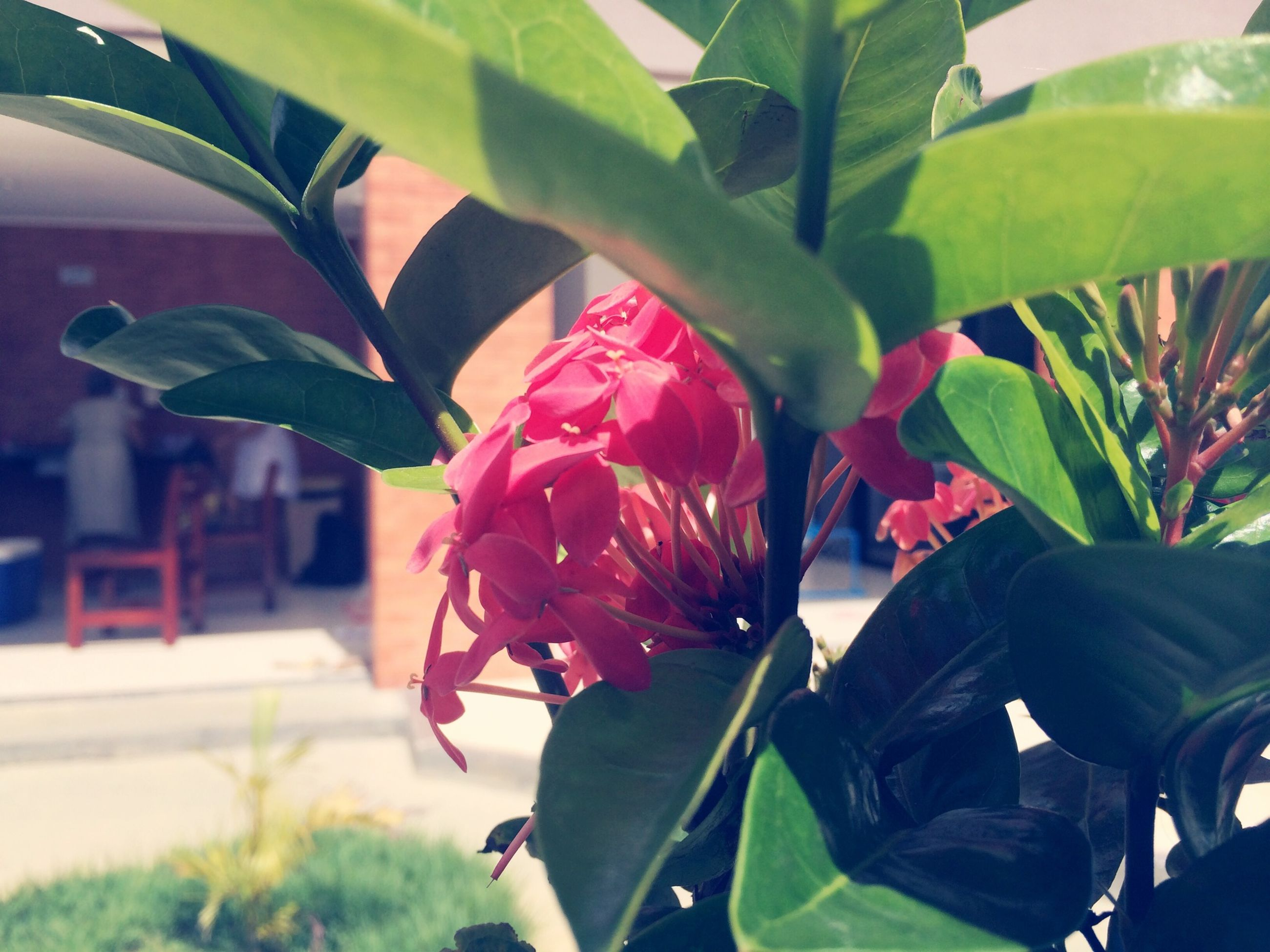 flower, petal, growth, leaf, freshness, fragility, flower head, beauty in nature, plant, pink color, close-up, focus on foreground, nature, blooming, single flower, day, in bloom, green color, park - man made space, sunlight