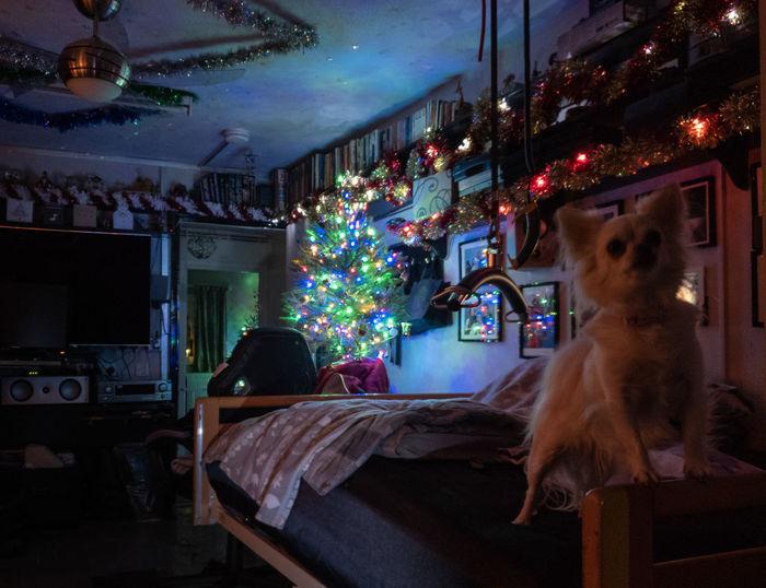 Domestic Animals Pets Illuminated Christmas Christmas Ornament Home Interior Decoration Chiuahua Indoors  Bedroom