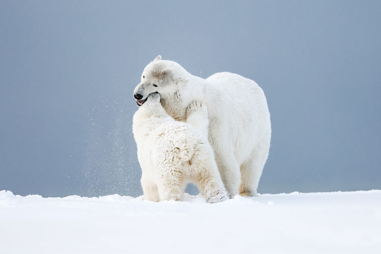 Polar bear playing with young one in snow