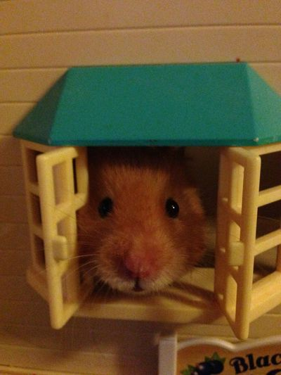 Animal Animal Head  Close-up Cute Hamster Home Indoors  Mammal One Animal Pets Syrian Hamster  Young Animal