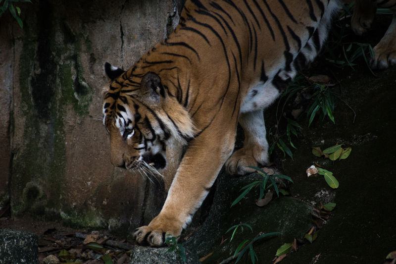 Animal Themes Animallover Cats Of EyeEm Day Mammal Nature Nature Photography No People One Animal Tiger Zoophotography