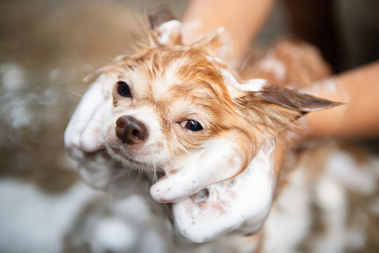 A dog taking a shower with soap and water,Cleaning service Mammal Pets Domestic One Animal Domestic Animals Canine Dog Small Lap Dog Close-up Animal Body Part Chihuahua - Dog People Portrait Young Animal Day Brown Shampoo Face Happiness Cleaning Washing Bathroom Hand Love
