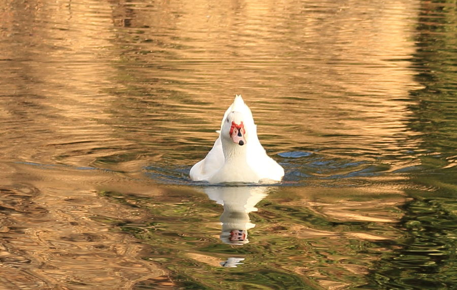 Parque Torreblanca Animals In The Wild Lake Pato Reflejo Swan Swimming Water