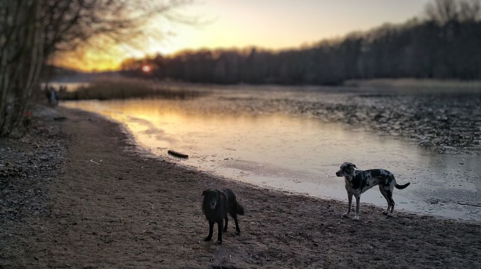 sunrise Dog Dogs Of EyeEm Dogslife Dog❤ Border Collie Deutschedogge Water Nature Lake Reflection Animal Wildlife Outdoors Silhouette Animals In The Wild Sunset No People Landscape The Natural World Sky Beauty In Nature Animal Themes Day