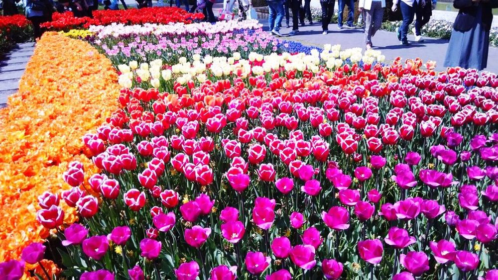 Colourful Color Portrait Beautiful Nature Tulips🌷 credis to sissy