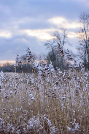 Snow dusted prairie grass on cold winter morning light in forest preserves Woods Selective Focus No People Forest Outdoors Winter Cold Temperature Dawn Collection Dawn Tall Grasses Snow Covered Snow Dusting Light Snow Prairie Grass Quiet Places Silence Peaceful Cloudy Sky Fields Fields And Sky Fieldscape Meadow Midwest USA Season