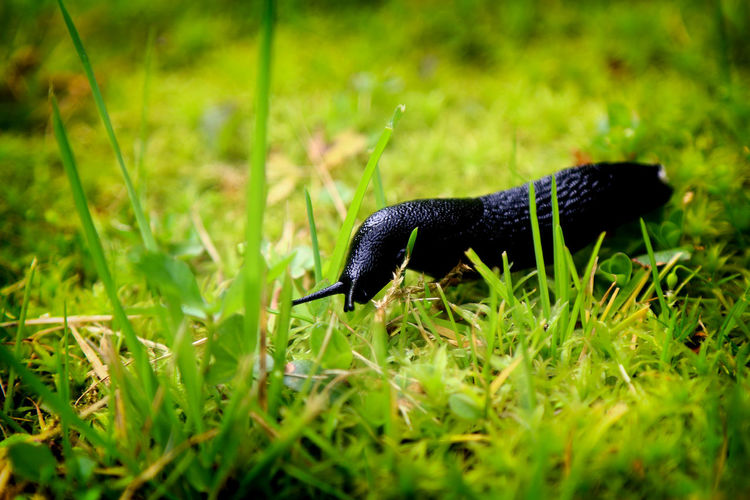 Black arion - Animal Themes Black Slug Blade Of Grass Exceptional Photographs EyeEm Best Edits EyeEm Masterclass Field First Eyeem Photo Focus On Foreground Fragility Freshness Grass Grassy Green Green Color Hello World Nature Outdoors Selective Focus Snail Surface Level The Week Of Eyeem Tranquility Wildlife Zoology