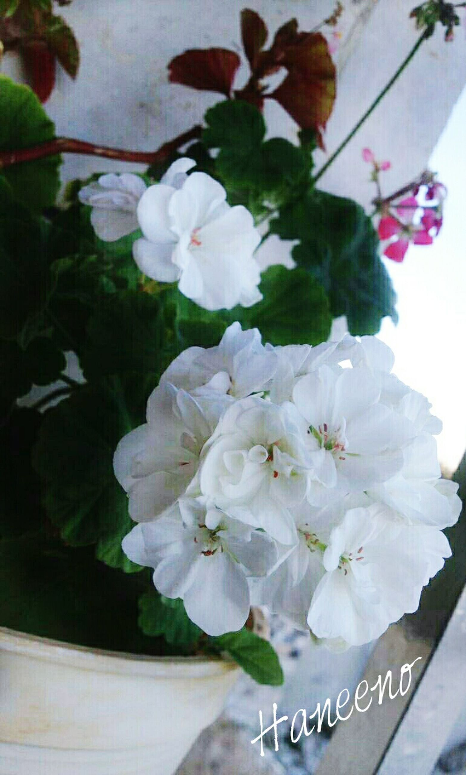 flower, freshness, fragility, petal, white color, growth, beauty in nature, flower head, nature, blooming, blossom, bunch of flowers, close-up, in bloom, plant, leaf, botany, white, no people, focus on foreground, day, cherry tree, stamen, softness, pollen