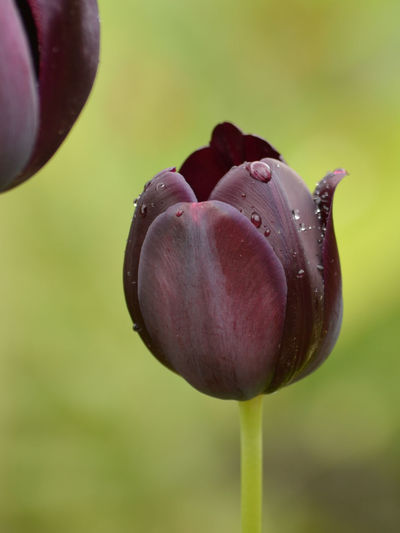 Beauty In Nature Black Tulip Close-up Dark Red  Dark Red Tulips Day Drop Flower Flower Head Focus On Foreground Fragility Freshness Growth Nature No People Outdoors Plant Rain Drops Raindrops On Flower Raindrops On Flowers Tulips Water