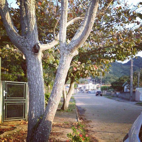 ola árvores, Ribeirao Aniver Pedro Trees
