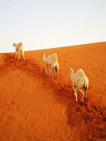 Domestic Animals Environment Full Length Nature Animal Wildlife Young Animal Togetherness Arid Climate Animal Themes Hoofed Mammal No People Sand Dune Landscape African Elephant Outdoors Mammal Livestock Front View Mountain Range Non-urban Scene Clear Sky Low Angle View Smiling Cloud - Sky Waterfront