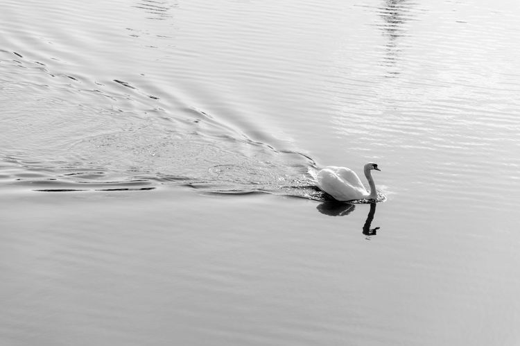 Swan Simple Beauty Simple Elegance River Black And White Geometric Shapes Birds_collection Composition EyeEm Nature Lover Reflection_collection
