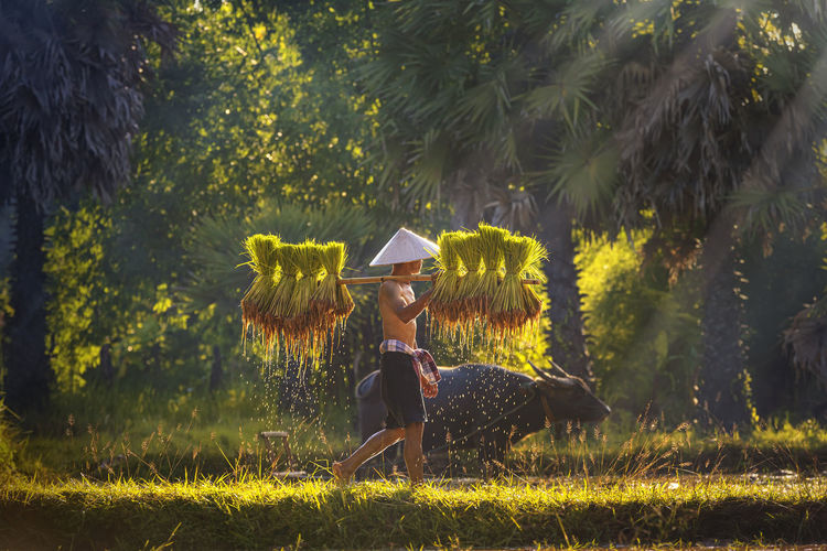 Farmers are carrying seedlings. people in the community are working together to bring rice together.