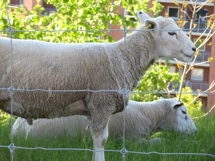 Sheep Grass Livestock Grazing Flock Of Sheep My Best Photo