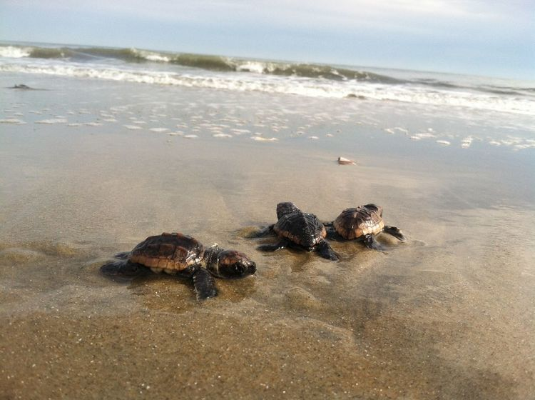 loggerhead sea turtle hatchlings Activity Adventure Arid Climate Beach Endangered Species Hatchling Horizon Over Water Loggerheadturtle Natural Resources Nature One Animal Outdoors Relaxation Rock Sand Sea Seaturtle Shore Summer Surf Turtle Vacations Water Wave Zoology