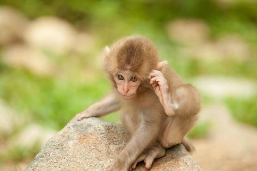 Wildlife Animals In The Wild Animal Themes Monkey Mammal Nature Japanese Monkey Young Animal