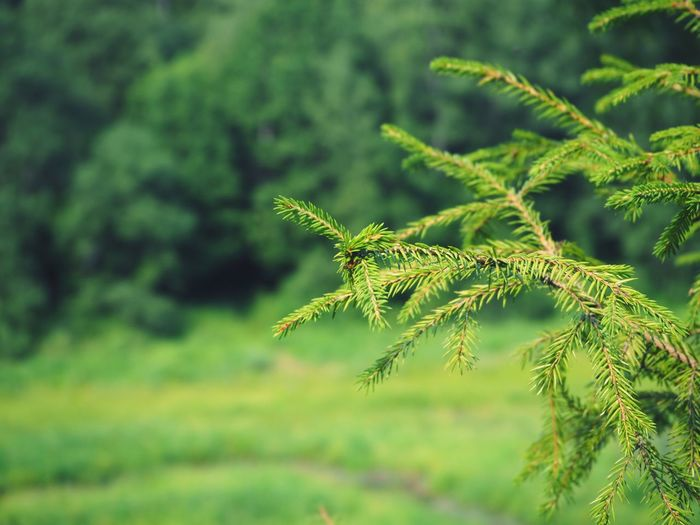spruce Green Color Nature No People Pine Tree Beauty In Nature Day