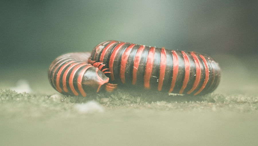 Close-up of centipede on field