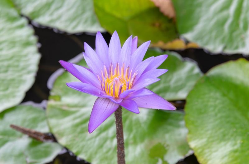 lila Seerose (Nymphaea) Flower Flowering Plant Freshness Plant Vulnerability  Growth Beauty In Nature Fragility Inflorescence Petal Flower Head Close-up Purple Leaf Water Lily Plant Part Lake Pollen Pink Color No People