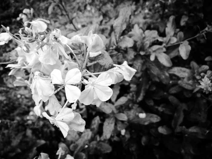 why don't we click flowers in b&w Blackandwhite Eyeem Black And White EyeEm Nature Lover Flowers In Black Abd Whiteblack And White Photography Flower Flower Head Close-up Blooming Petal Plant Life