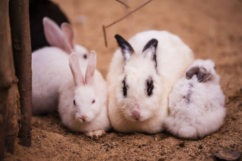 Close-up portrait of rabbits