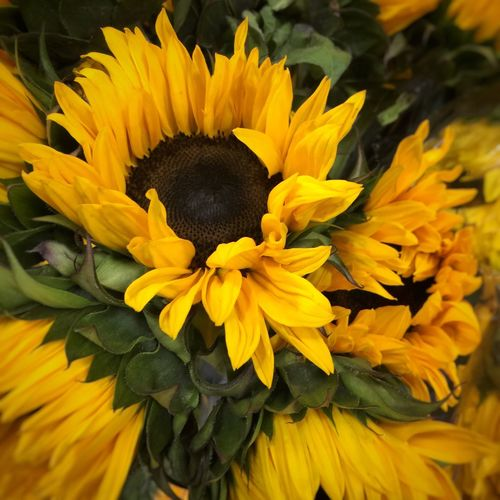 Sunflower--the true beginning of summer 43 Golden Moments Beauty In Nature Beautifulflowerseveryday Iphonephotography Flowers Flowers,Plants & Garden Flowers, Nature And Beauty Eye4photography