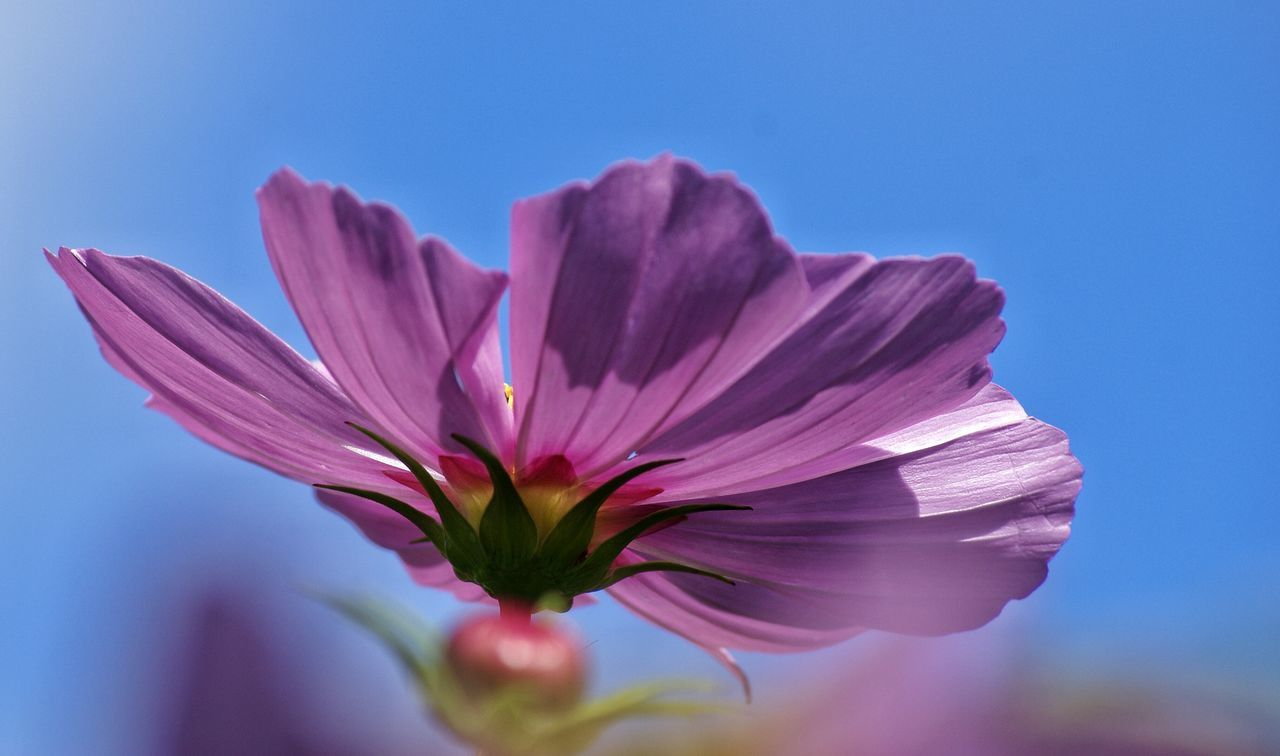 flower, petal, fragility, nature, freshness, beauty in nature, growth, plant, close-up, no people, flower head, outdoors, day, cosmos flower, clear sky, blooming, sky