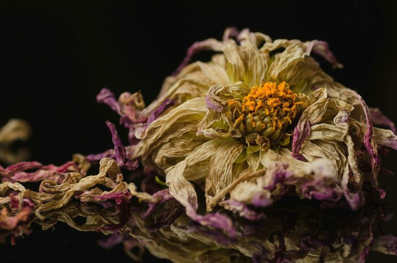 Close-up of dead flowers against black background