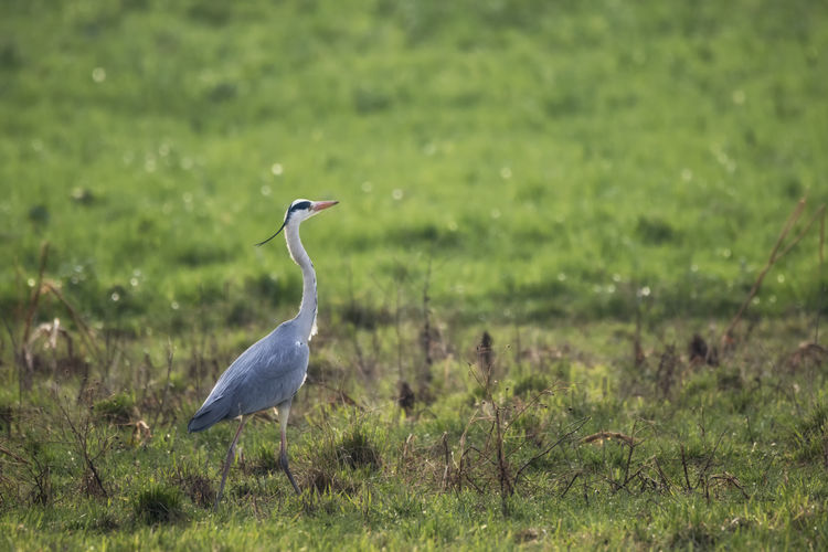 Héron cendré Animal Animal Photography Animal Themes Animal Wildlife Animals Animals In The Wild Animals In The Wild Bird Bird Photography Birds Birds Of EyeEm  EyeEmNewHere Field Focus On Foreground Grass Gray Heron Green Green Color Heron Nature One Animal The Great Outdoors - 2017 EyeEm Awards