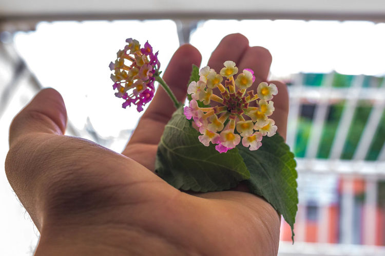Flor D'Veronica Beauty In Nature Flower Flower Head Focus On Foreground Fragility Human Body Part Human Hand Multi Colored Nature One Person Outdoors Petal Real People