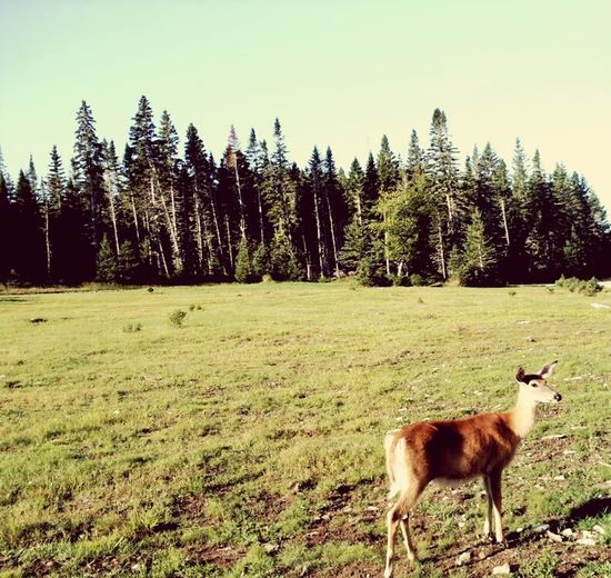 Tree Animal Themes Grass Landscape Nature Mammal One Animal No People Full Length Beauty In Nature Outdoors Day Animal Anticosti Islands Deer