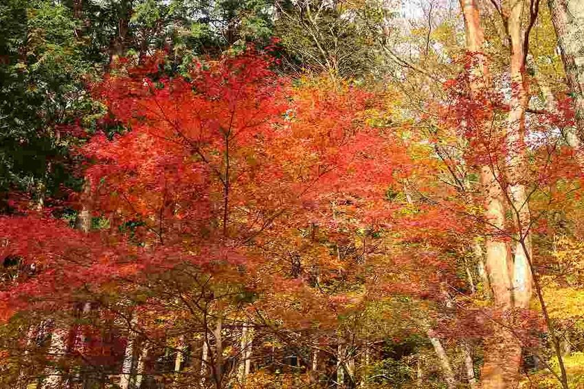 Japan Autumn Beauty In Nature Forest Hakone Nature Tree