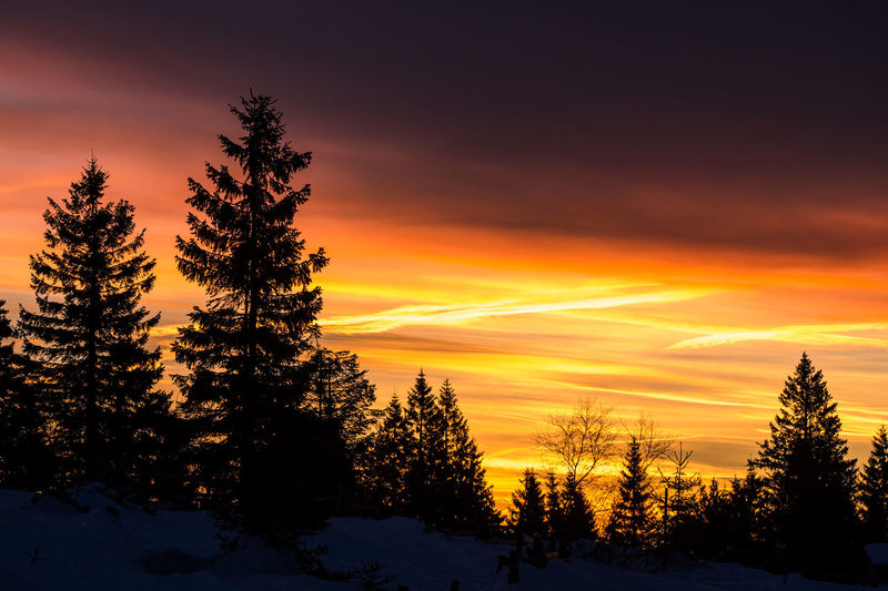 Silhouette pine trees against sky during sunset