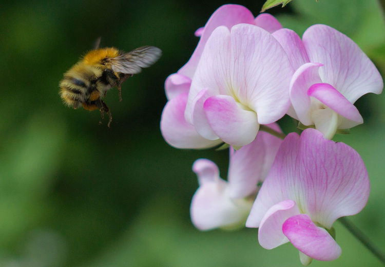 Close-Up Of Bumblebee Buzzing By Pink Flowers In Park